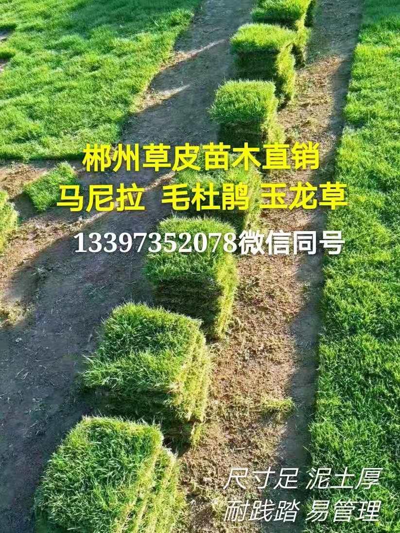 绿化工程草坪/马 尼拉草皮/马尼拉暖季型草坪耐踩耐寒耐旱
