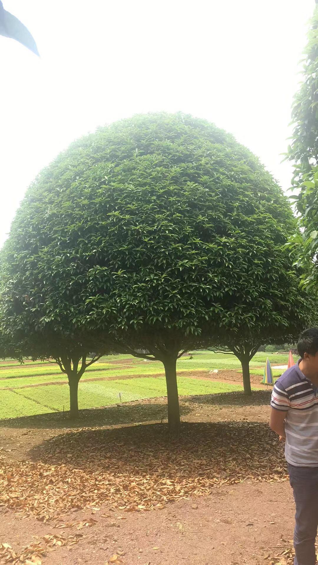 良好绿化用树 厂家直发 优质桂花