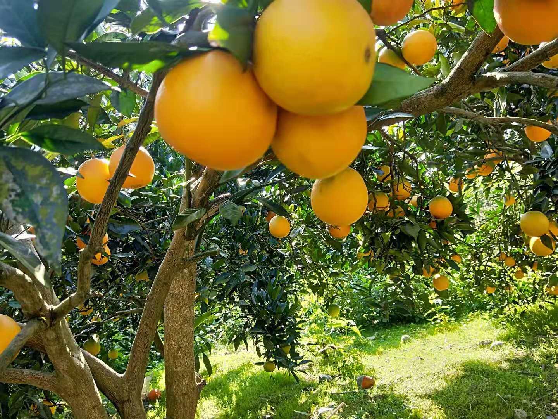 重庆纽荷尔脐橙厂家/纽荷尔脐橙种植基地/纽荷尔脐橙批发价格/纽荷尔脐橙
