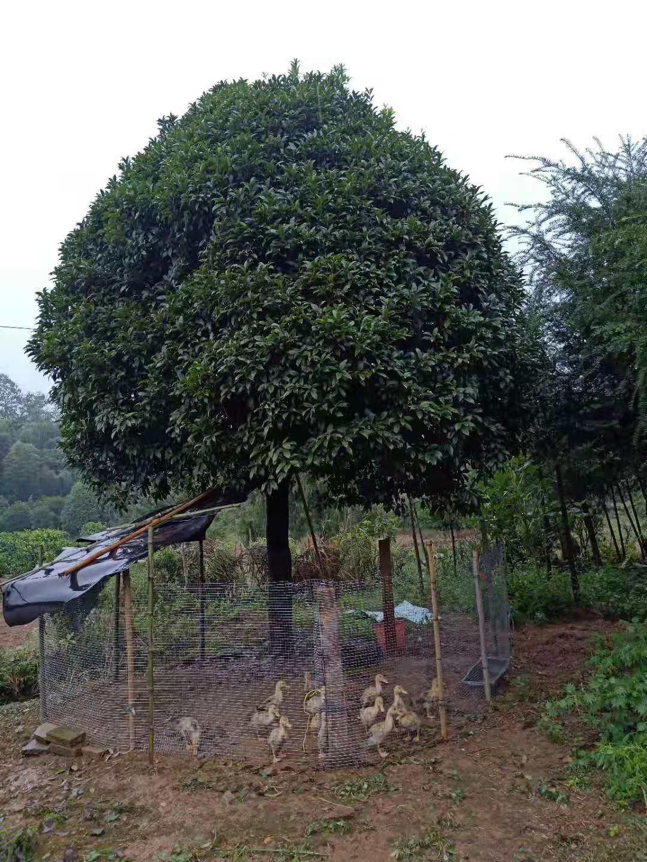了解桂花树苗木种植方法