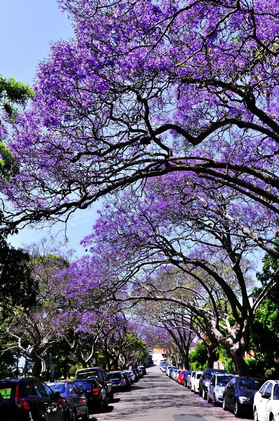 紫花风铃     供应紫花风铃木种苗