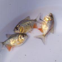 鲳鱼的种类