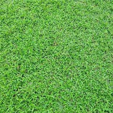 广州大叶油草种植基地哪家好