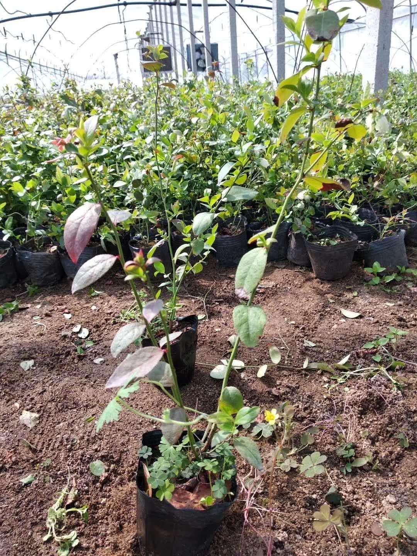 山东蓝莓苗出售基地-山东大量出售蓝莓苗1-6年批发/厂家价格报价