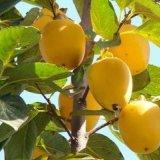 日本三代斤柿,柿子树苗,柿子新品种,新品种柿子苗