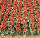 蚌埠市哪里有批发优质一串红.
