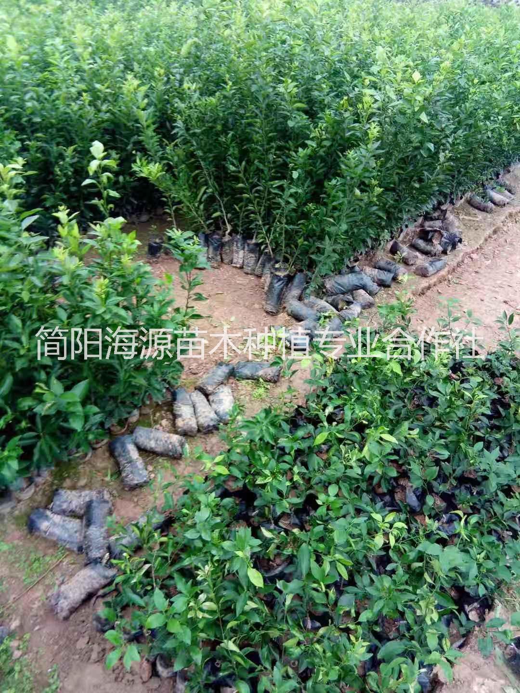 四川香橙杯苗种植基地直销价格
