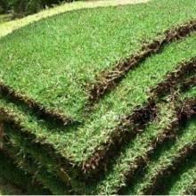 广东江门夏威夷草坪基地-广东江门新会夏威夷草坪厂家批发价格