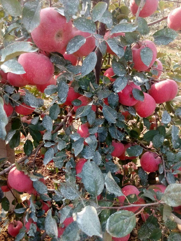 山东冠县烟富10苹果苗
