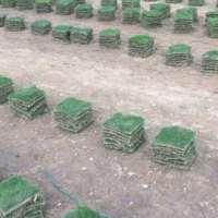 韶关马尼拉草种植基地 马尼拉草的主要价值是什么 韶关马尼拉草供应商