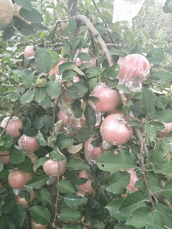 山东冠县苹果苗基地哪家好