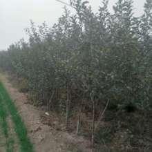 如何比较苹果苗供应厂家
