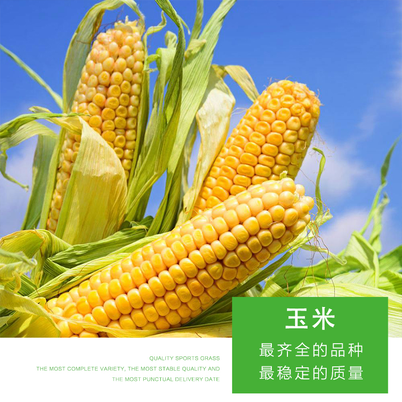 食粮玉米 包谷 苞米 高价收购玉米 黑龙江玉米 厂家直销