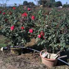 河南树状月季花种苗批发价格表 高存活率欢迎来电咨询图片