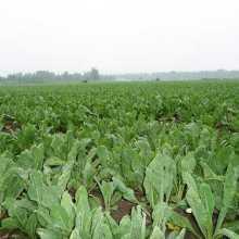 板蓝根 亳州市谯城区药美种植专业合作社种植板蓝根 订购热线:13856700038批发