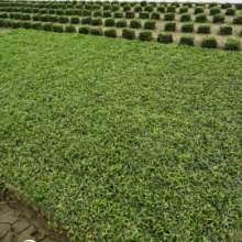 广东增城大叶油草基地 大叶油草主要价值