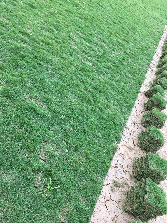 供应大叶油草皮 优质大叶油草皮 如何种植大叶油草草皮