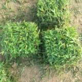 广东卷草厂家 卷草的种类 优质卷草