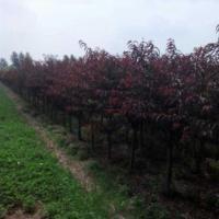 河南红叶碧桃 河南红叶碧桃基地 多种规格 量大从优