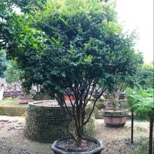 芒果盆栽的养殖方法 优质芒果批发批发