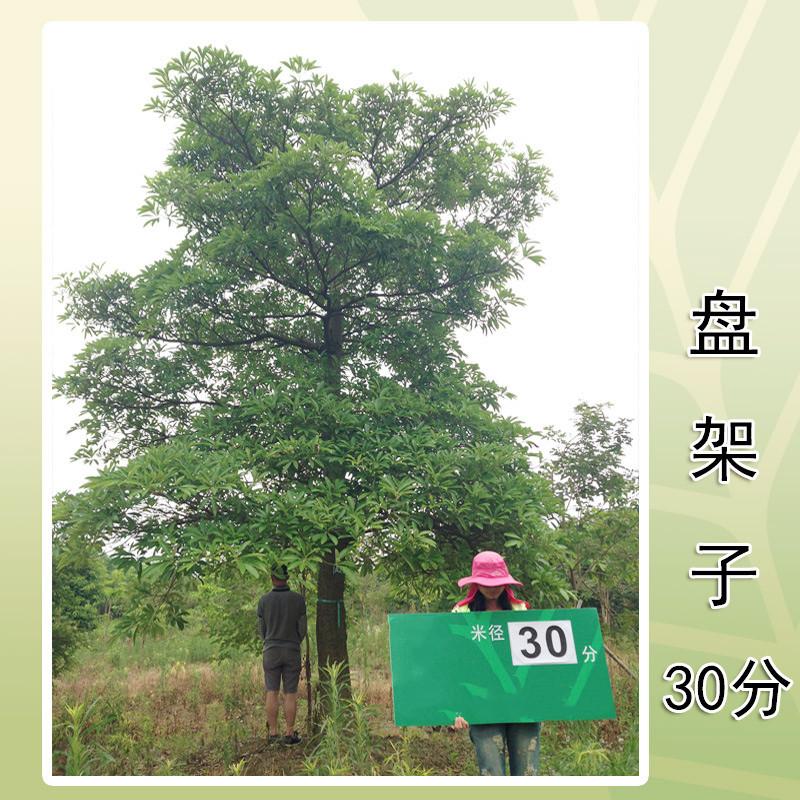 优质盘架子基地直销   盘架树的种植方式