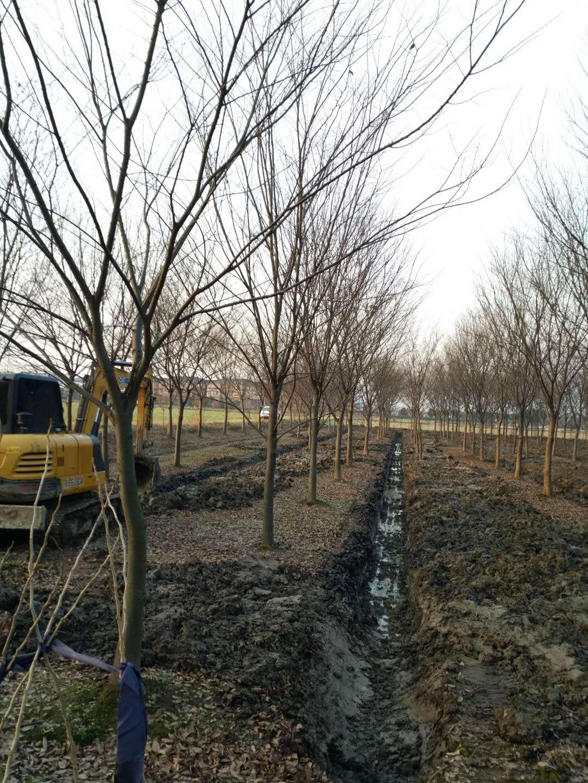 供应18cm至25cm的榉树, 众联苗木场供应18cm至25cm榉树批发全国发货,优质榉树苗就选众联苗木场