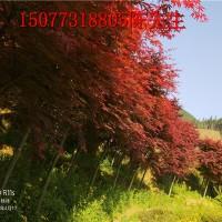 广西日本小叶红枫-广西桂林日本小叶红枫基地/厂家价格批发报价