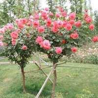 月季 月季苗木 月季苗木批发 月季苗木种植基地 月季花