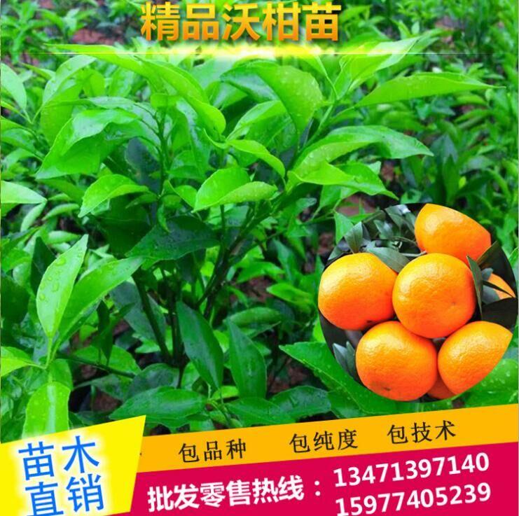 沃柑树苗-优质新品种沃柑苗-沃柑杯苗高成活率-晚熟果树苗批发