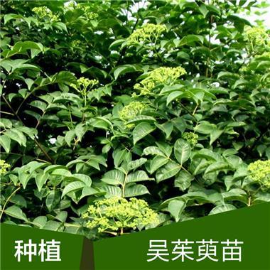 中花吴茱萸苗-种植基地价格