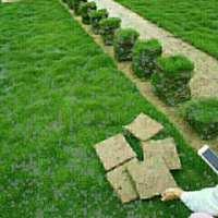 郴州马尼拉草坪种植基地,郴州马尼拉草坪批发价/供应商,郴州马尼拉草坪报价/价格