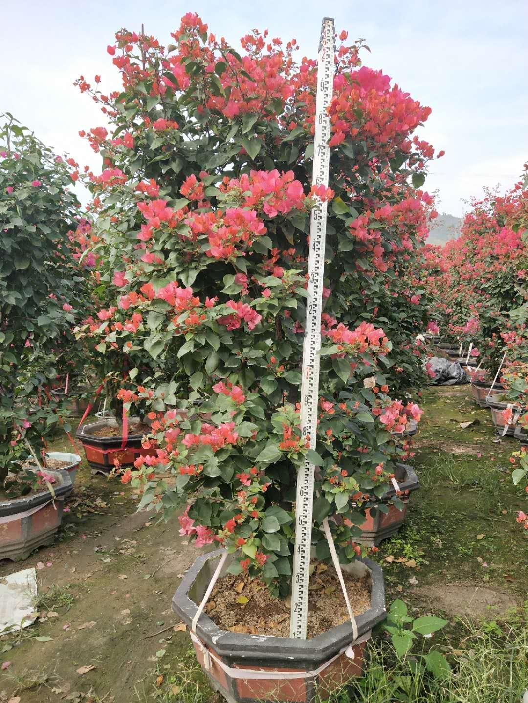 贵州供应双色三角梅厂家直供销售批发报价电话  存活率高  枝叶茂盛
