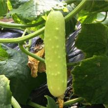 水果黄瓜厂家-供应商批发