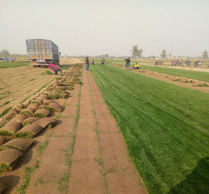 绿化草坪销售