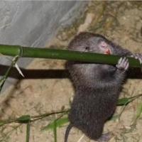 贵州竹鼠批发 竹鼠幼崽厂家 顺丰竹鼠厂家 贵州竹鼠苗批发 贵州竹鼠苗生产 贵州竹鼠公司 贵州竹鼠零售