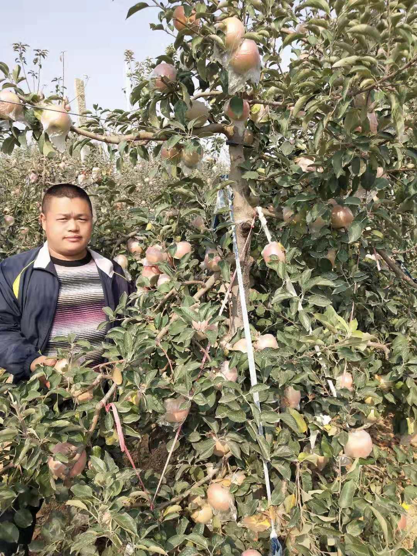 鲁丽苹果苗,烟富8苹果苗,烟富3 苹果苗,烟富0苹果苗,矮化,柱状苹果苗 鲁丽苹果苗