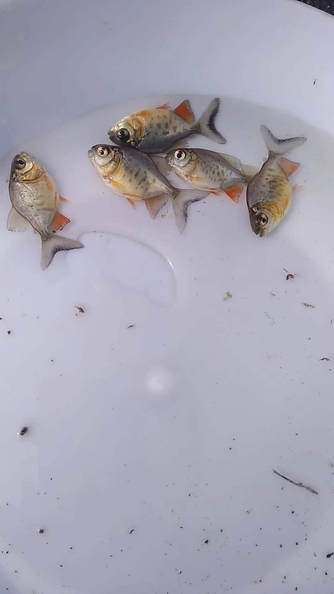 鲳鱼饲料管理