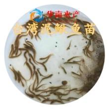 泥鳅鱼苗,台湾泥鳅鱼苗批发