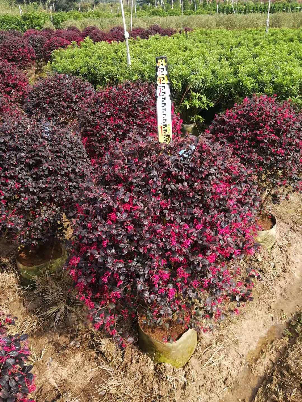漳州市红花继木种植基地|漳州市红花继木价格|漳州市红花继木直销价格