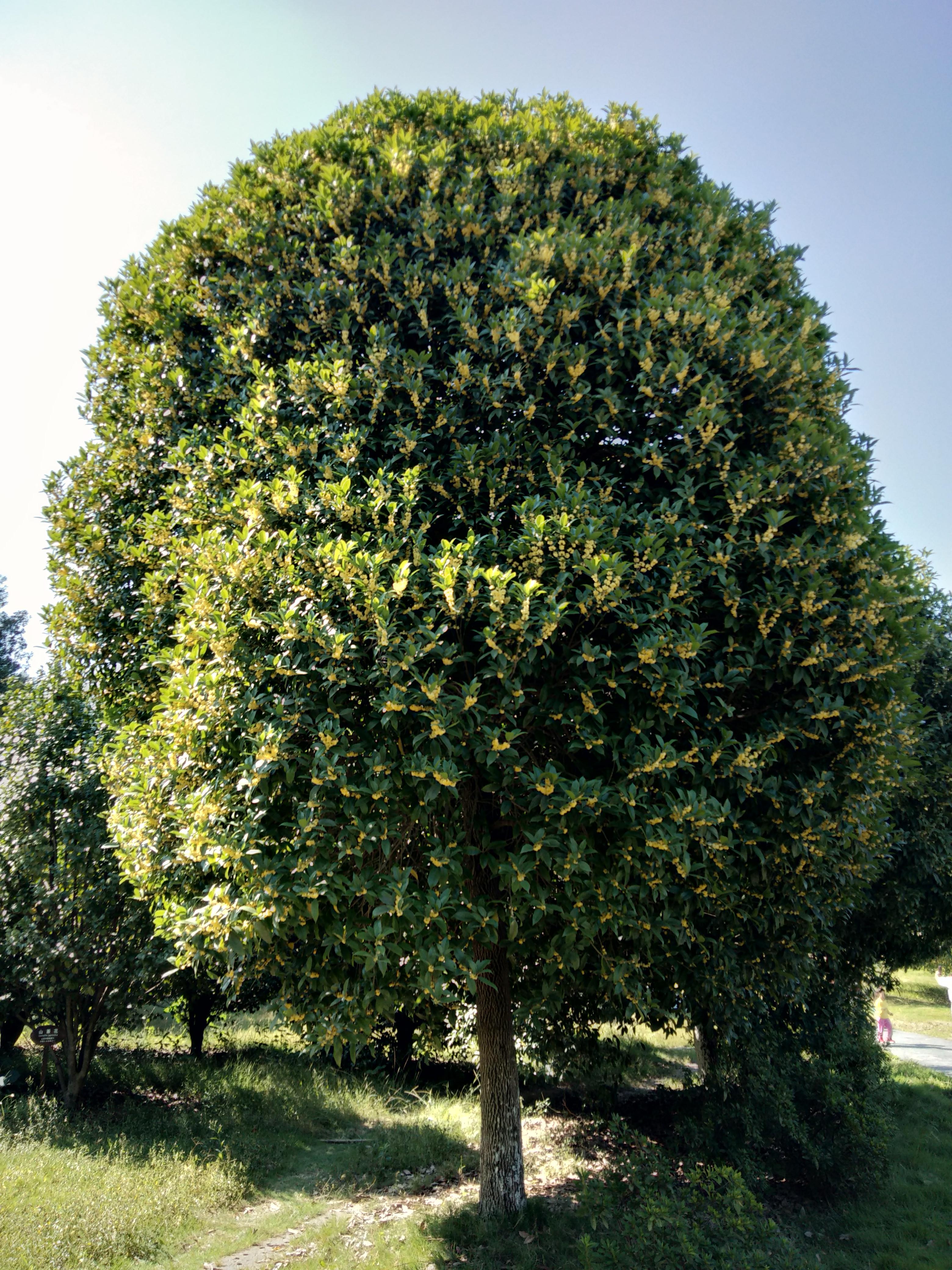 桂林桂花树