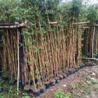 小琴丝竹 四季常青琴丝竹 凤尾竹 金镶竹子苗室内盆栽竹子