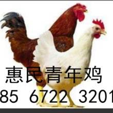 青年鸡养殖基地批发