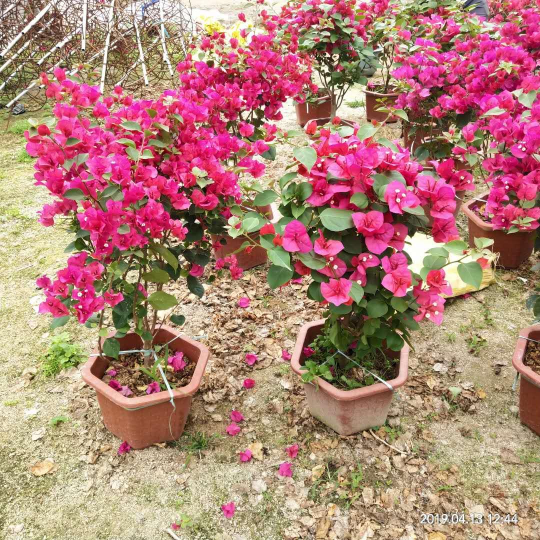 100-120cm盆栽红色三角梅  厂家直销 价格合理