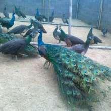 湖南蓝孔雀养殖基地,孔雀生态养殖基地,湖南蓝孔雀种苗供货商
