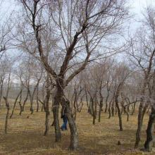 菏泽牡丹五角枫树苗苗圃直供