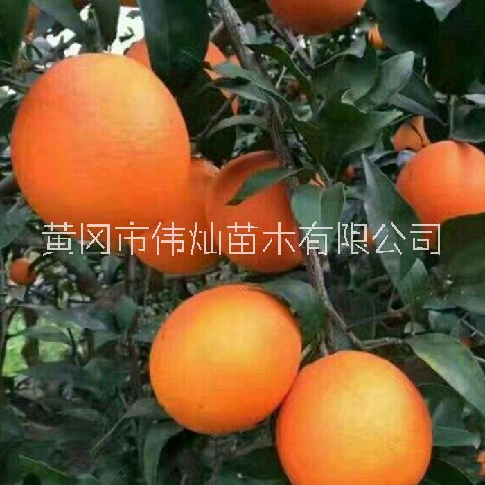 伦晚脐橙苗哪里有卖的 脐橙苗价格 湖北伟灿苗木基地 果树苗批发供应