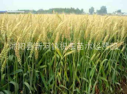 大麦、牟麦、饭麦、赤膊麦销售