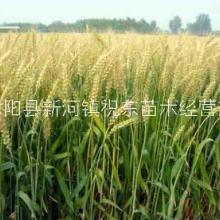 批發零售一年生畜牧大麥、牟麥、飯麥、赤膊麥牧草種子圖片
