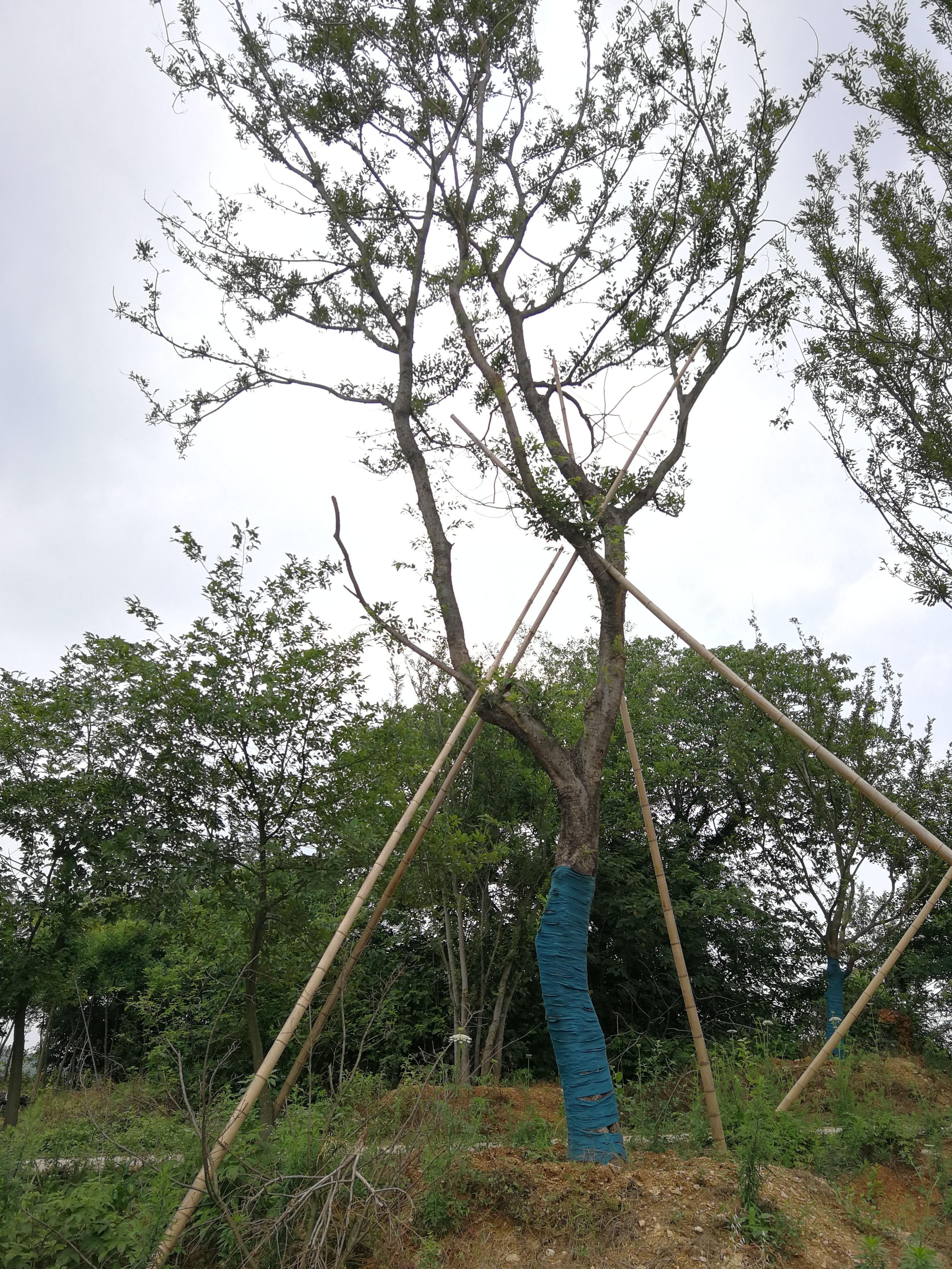 安徽滁州朴树种植基地-草坪种植报价优质供应