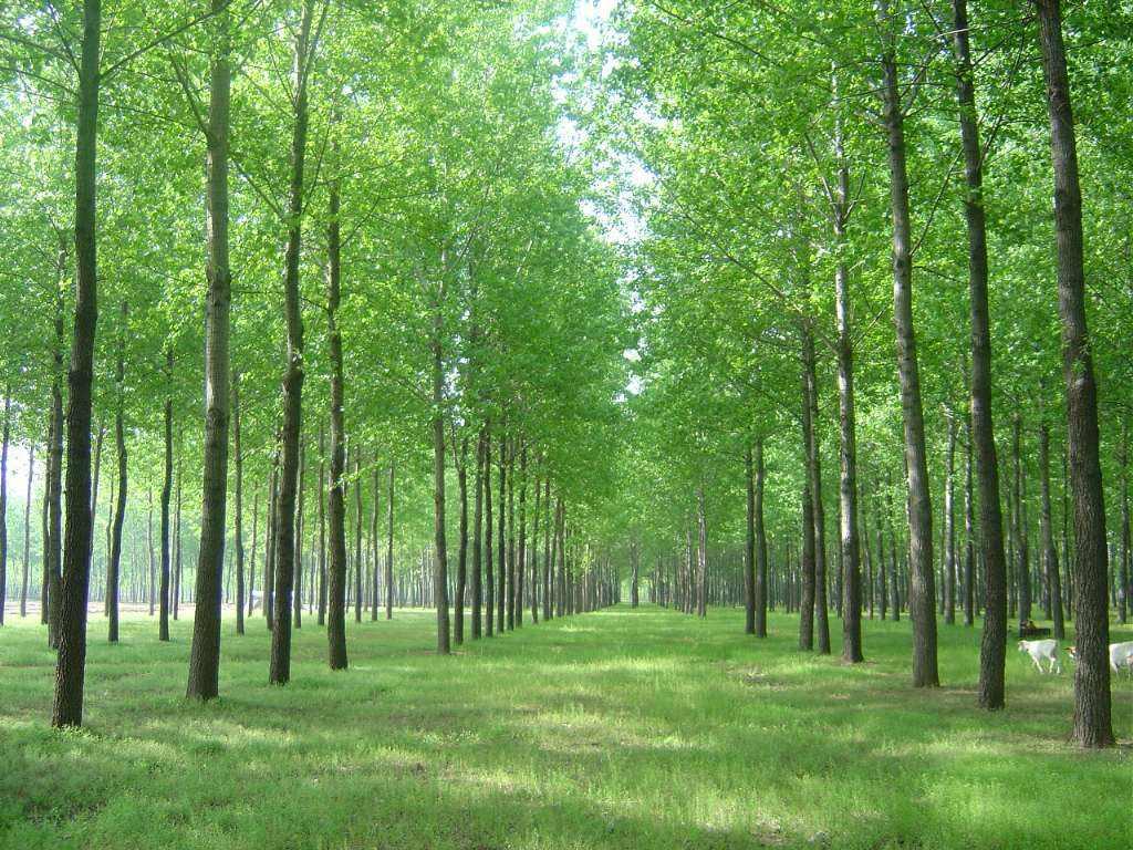 安徽枫杨树种植基地直销价格